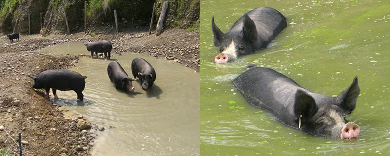 meat_swimming-pig_top