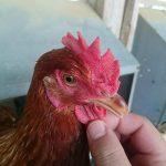 つまんでご卵 万歩鶏を正面のアングルで見る