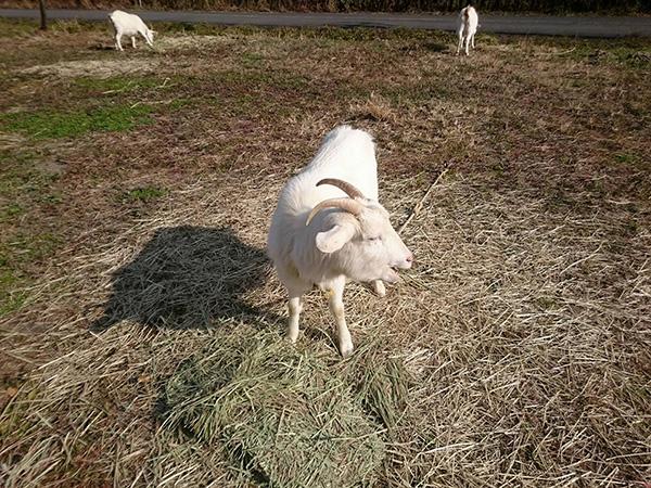 つまんでご卵 山羊ファミリーが新年初出勤