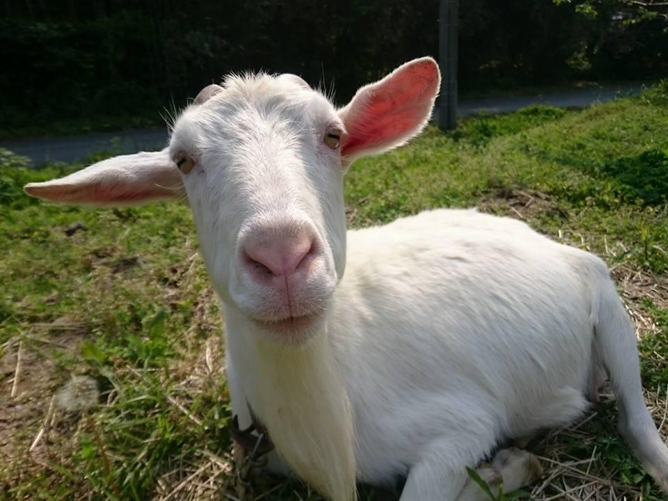 つまんでご卵の山羊さん