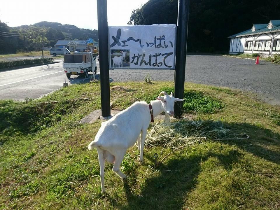 福岡マラソン2016 山羊たちがランナーを応援します