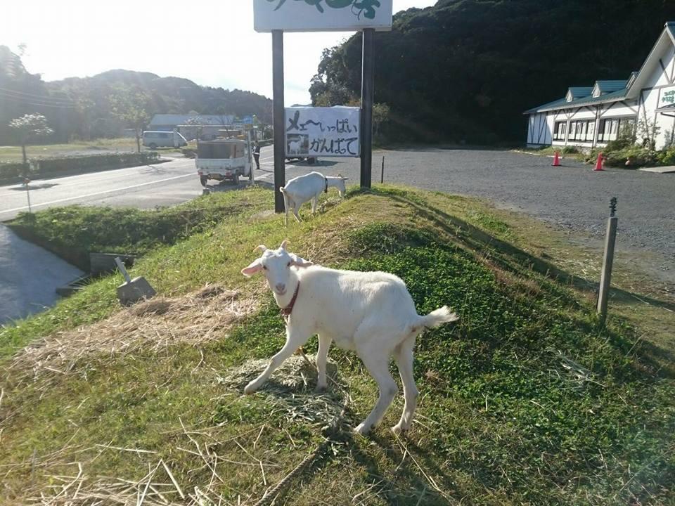 山羊たちがランナーを応援します