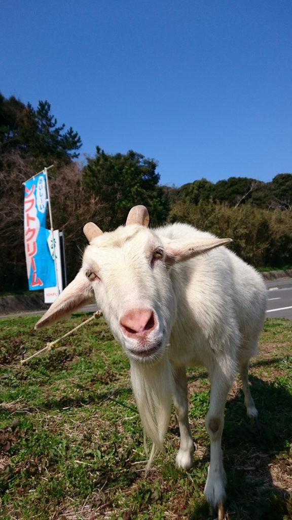 にぎやかな春の山羊